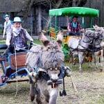 Donkey races at the agro-tourism facility Garadzenski maentak Karobchytsy